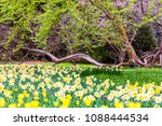 field of blooming  daffodils on ...   Shutterstock . vector #1088444534