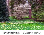 field of blooming  daffodils on ...   Shutterstock . vector #1088444540