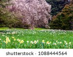 field of blooming  daffodils on ...   Shutterstock . vector #1088444564