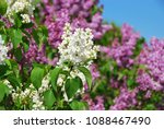 white and purple lilac flowers. ... | Shutterstock . vector #1088467490