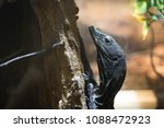 black lizard rests on branch on ... | Shutterstock . vector #1088472923