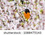 a male baltimore oriole forages ... | Shutterstock . vector #1088475143