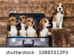Stock photo litter of puppies beagle in a suitcase 1088531393