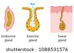 epithelial gland types | Shutterstock .eps vector #1088531576