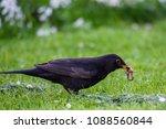 the common blackbird  turdus... | Shutterstock . vector #1088560844