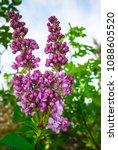 lilac. lilacs  syringa or...   Shutterstock . vector #1088605520