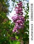 lilac. lilacs  syringa or...   Shutterstock . vector #1088605538