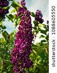 lilac. lilacs  syringa or...   Shutterstock . vector #1088605550