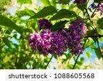 lilac. lilacs  syringa or...   Shutterstock . vector #1088605568