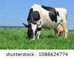 cow on a summer pasture | Shutterstock . vector #1088624774