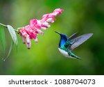 hummingbird drinking nectar of... | Shutterstock . vector #1088704073