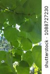 Small photo of Green canopy of flat tree leaves