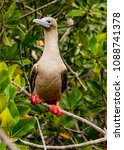 rdd footed booby on perch  on... | Shutterstock . vector #1088741378