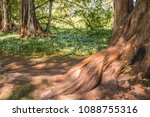 sequoias on the mainau island   ... | Shutterstock . vector #1088755316