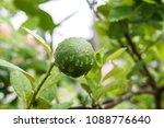 green lime on tree  fresh lemon | Shutterstock . vector #1088776640