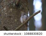 eurasian pygmy owl swabian jura ... | Shutterstock . vector #1088830820