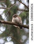 eurasian pygmy owl swabian jura ... | Shutterstock . vector #1088830826