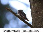 eurasian pygmy owl swabian jura ... | Shutterstock . vector #1088830829