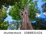 Huge Tree At Botanic Garden On...