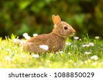 Wild Bunny In The Meadow