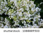 lily of the valley background... | Shutterstock . vector #1088889503