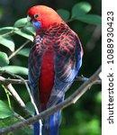 scarlet rosella in tree | Shutterstock . vector #1088930423