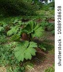 Small photo of Gunnera manicata, known as Brazilian giant-rhubarb or giant rhubarb. Gunneraceae family