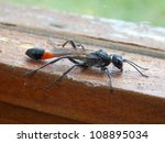 Small photo of Red banded sand wasp (Ammophila sabulosa) on a window frame