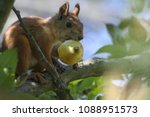 Squirrel On Tree. Closeup Of...