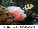 a tropical fish pacific double... | Shutterstock . vector #1088961668