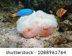 marine life  a magnificent sea... | Shutterstock . vector #1088961764