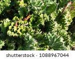 cactus grown as ornamental... | Shutterstock . vector #1088967044