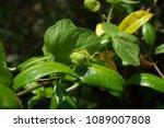 passiflora foetida fetid... | Shutterstock . vector #1089007808