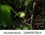 passiflora foetida fetid... | Shutterstock . vector #1089007814