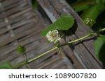 passiflora foetida fetid... | Shutterstock . vector #1089007820