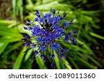 Beautiful Cuban Lily Flower ...