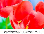 red tulip closeup for... | Shutterstock . vector #1089032978