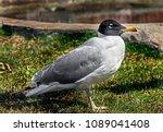 Small photo of Great black-headed gull. Latin name - Larus ichtyaetus