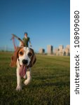 Stock photo cute beagle walking in a grassy park on a beautiful sunny day 108909080