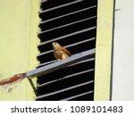 common kestrel  falco...   Shutterstock . vector #1089101483
