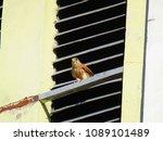 common kestrel  falco...   Shutterstock . vector #1089101489