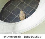 common kestrel  falco...   Shutterstock . vector #1089101513