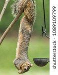 Fox Squirrel Hanging Upside...