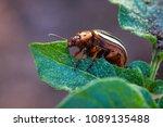 colorado potato beetle ... | Shutterstock . vector #1089135488