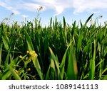 green wheat field | Shutterstock . vector #1089141113