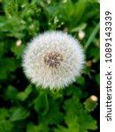 dandelion flower   background | Shutterstock . vector #1089143339