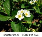 blossoming of a strawberry | Shutterstock . vector #1089145463