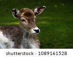 Small photo of Portrait of fallow deer (dama, dama) in the forest. Phtography of wildlife.