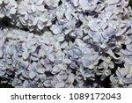 lilac flower closeup | Shutterstock . vector #1089172043