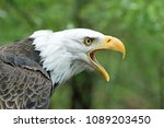 solitary bald eagle screeching | Shutterstock . vector #1089203450